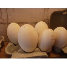 GOOSE EGGS  END OF SEASON 2019