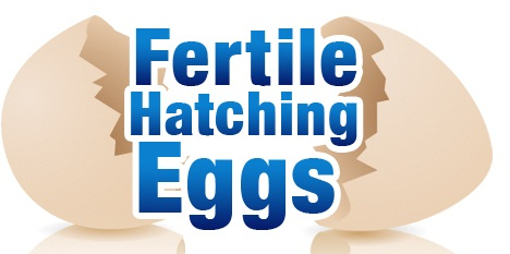 Fertile Hatching Eggs